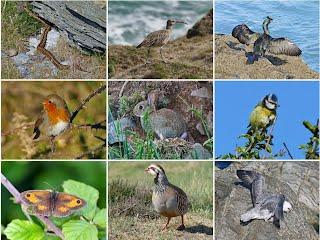 Adder;Blackbird;Blue Tit;Common Blue Butterfly;Common Shrew;Fox Cub;Fulmar;Gatekeeper Butterfly;Grasshopper Warbler;Grey Seal;Linnet;Meadow Pipit;Pheasant;Red-legged partridge; Robin;Stonechat;Wheatear;Whimbrel;Mortehoe,mortepoint,woolacombe;devon;north devon;northdevon;wildlife;nature;mortehoeholiday.co.uk